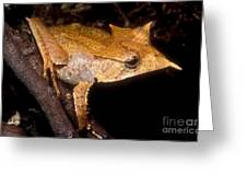 Central American Casque Headed Frog Greeting Card