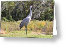 Central Florida Sandhill Crane With Oaks Greeting Card