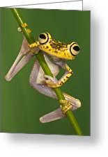 Chachi Tree Frog Hypsiboas Picturatus Greeting Card