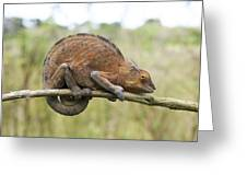 Chamaeleon Clings To A Branc Greeting Card