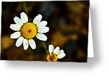Chamomile Flower In Decay Greeting Card
