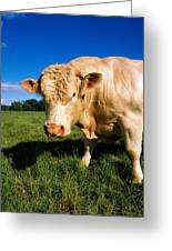 Charolais Bull, Ireland Greeting Card
