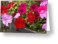 Chawton Petunias Greeting Card