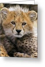 Cheetah Acinonyx Jubatus Ten To Twelve Greeting Card