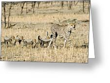 Cheetah Mother And Cubs Greeting Card
