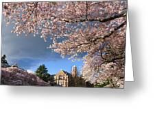 Cherry Blossoms At University Of Washington Greeting Card