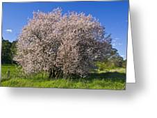 Cherry Blossoms Erupt In Spring Amongst Greeting Card by Jason Edwards