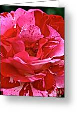 Cherry Chip Rose Petals Greeting Card