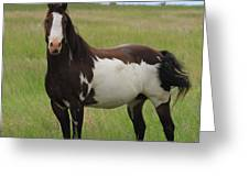 Chestnut Overo Paint Stallion Greeting Card