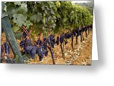Chianti Grapes Greeting Card