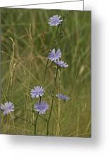 Chicory 2765 Greeting Card