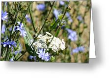 Chicory And Lace Greeting Card