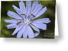 Chicory For Three Greeting Card