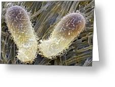 Chilodonella Ciliate Protozoan, Sem Greeting Card by Power And Syred