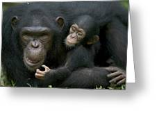 Chimpanzee Female Holding Infant Greeting Card