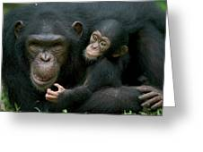 Chimpanzee Pan Troglodytes Adult Female Greeting Card