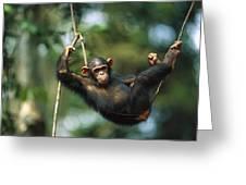 Chimpanzee Pan Troglodytes Resting Greeting Card
