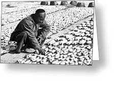 Chinese Man Drying Fish On The Shore - C 1902 Greeting Card