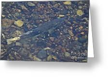 Chinook Salmon Greeting Card