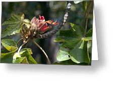 Chiranthodendron Pentadactylon Greeting Card