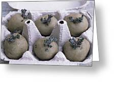 Chitted Potatoes In An Egg Box Greeting Card by Maxine Adcock