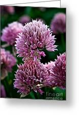 Chive Blossom Greeting Card