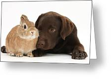 Chocolate Labrador Pup Greeting Card