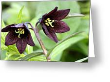 Chocolate Lilly Greeting Card