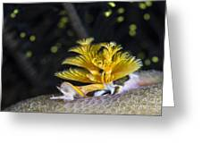 Christmas Tree Worm In Raja Ampat Greeting Card