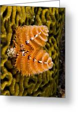 Christmas Tree Worm Spirobranchus Greeting Card