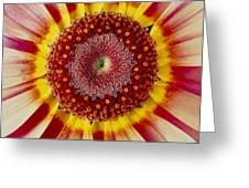 Chrysanthemum Carinatum Flower Greeting Card