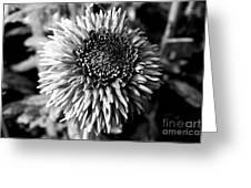 Chrysanthemum In Monochrome Greeting Card