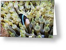 Clarke's Anemonefish Greeting Card by Georgette Douwma