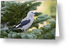 Clarks Nutcracker Nucifraga Columbiana Greeting Card