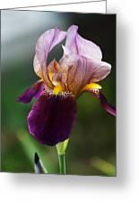 Classic Purple Two-tone Dutch Iris Greeting Card