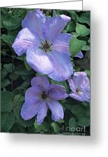 Clematis 'special Occasion' Flowers Greeting Card