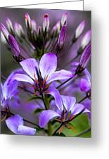 Cleome - Rose Queen Greeting Card