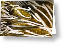 Clingfish On Crinoid, Australia Greeting Card