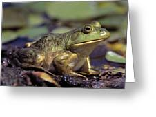 Close-up Of A Bullfrog Greeting Card