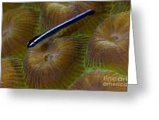 Close-up Of A Goby On Coral, Belize Greeting Card