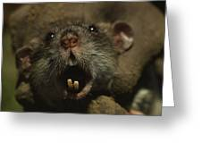 Close Up Of A Rats Fast-growing Teeth Greeting Card