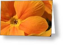 Close Up Of An Orange Primrose Flower Greeting Card