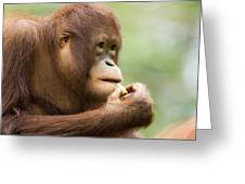 Close-up Of An Orangutan Pongo Pygmaeus Greeting Card