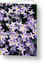 Close-up Of Bluet Flowers Houstonia Greeting Card