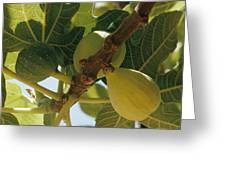 Close-up Of Two Large Figs Hanging Greeting Card
