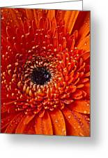 Close Up Orange Mum Greeting Card