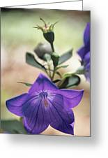 Close View Of A Balloon Flower In Bloom Greeting Card