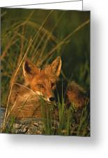 Close View Of A Red Fox At Rest Greeting Card