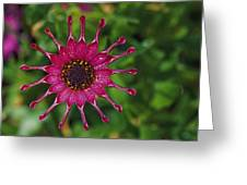 Close View Of A South African Daisy Greeting Card