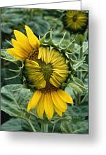 Close View Of A Sunflower Blossom Greeting Card